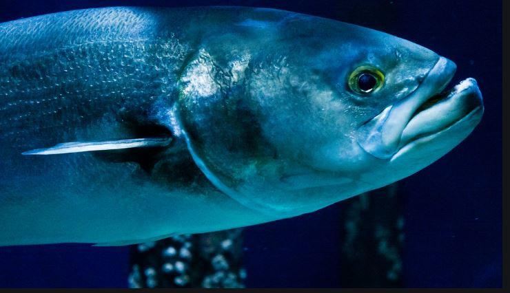 pesce serra_specie