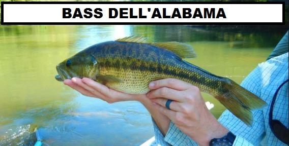 bass dell'alabama specie di black bass